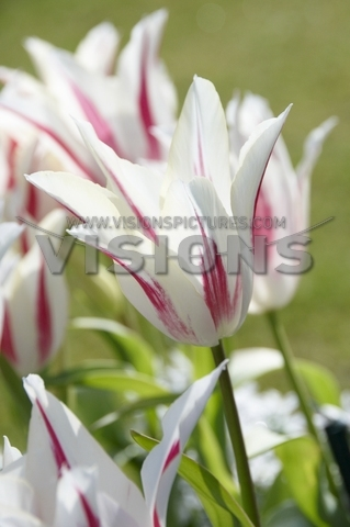 Tulip Marylin