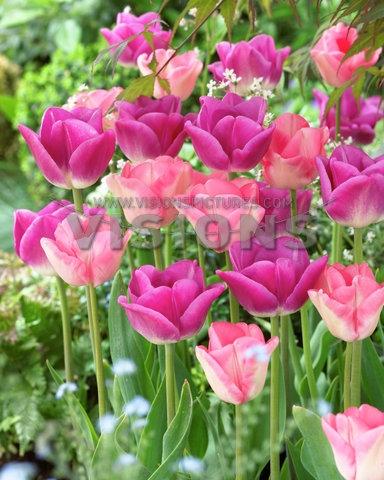 Tulipa Arvella, Tattoo